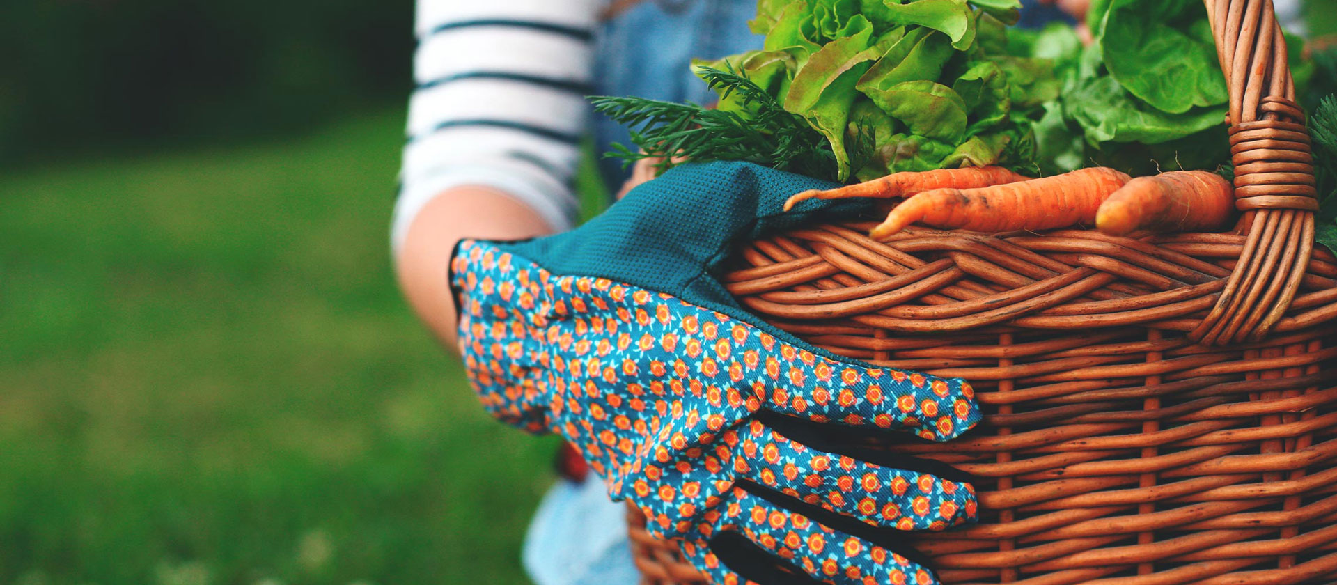 Person with gardening gloves holding basket of carrots, parsley and other vegetables.