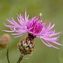 Knapweed flower.