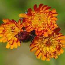 Orange hawkweed flowers.